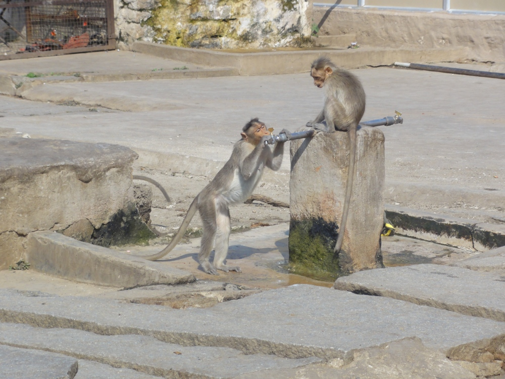 Two monkeys, one sitting on the pipe, the other drinking from it, being able to controll the water flow with the tap.